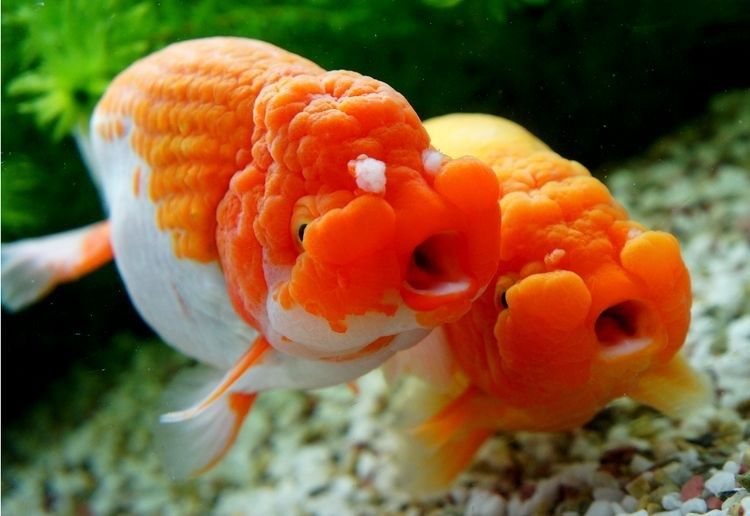 Zolotye Rybki おしゃれまとめの人気アイデア Pinterest Nicolaas Jan 淡水魚 金魚 魚