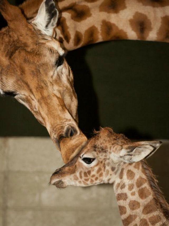 Marwell Wildlife Celebrates Birth Of New Giraffe Calf Giraffe Newborn Animals Zoo Babies