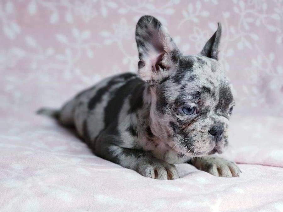 French Bulldog Playful And Smart Cute French Bulldog French