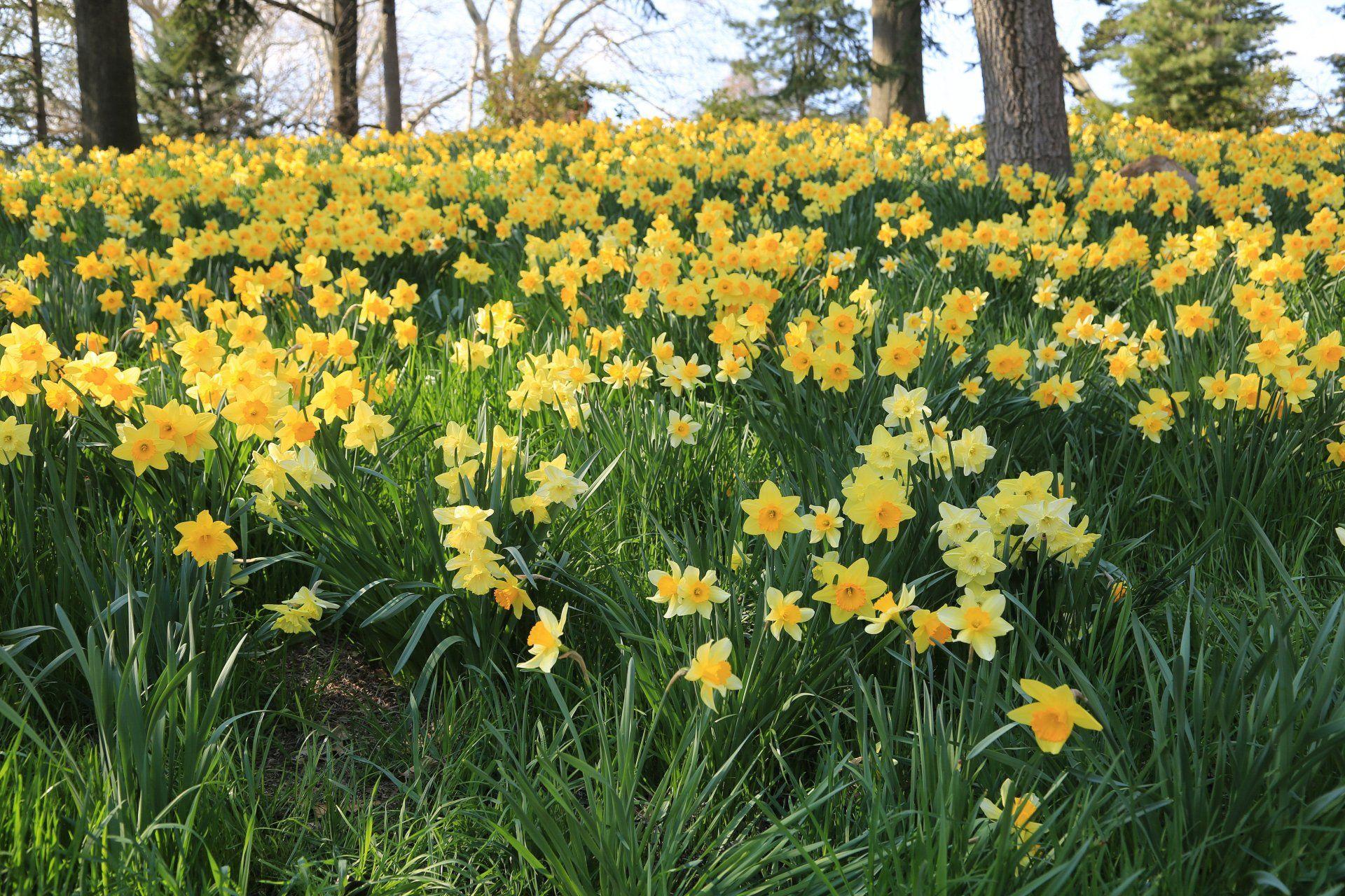 Tierra/Naturaleza Narciso  Tierra/Naturaleza Flor Narcissus Yellow Flower Campo Hierba Fondo de Pantalla