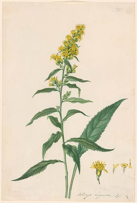 Georg Dionysius Ehret Solidago Virgaurea Drawings Online The Morgan Library Museum Botanical Drawings Botanical Art Botanical Illustration
