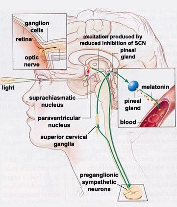 THE BRAIN FROM TOP TO BOTTOM | Health | Glándula pineal ...