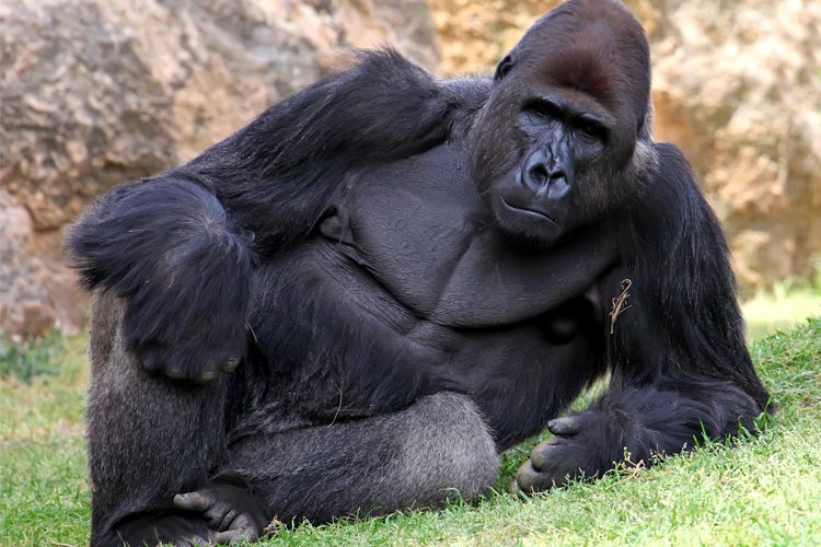 Sexy Silverback Gorilla Postcard