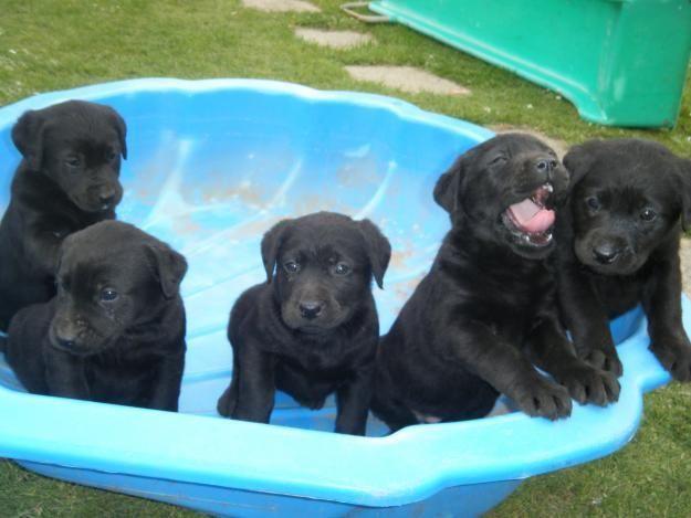 All4ads All4ads Original Pug Labrador German Shepherd Puppies