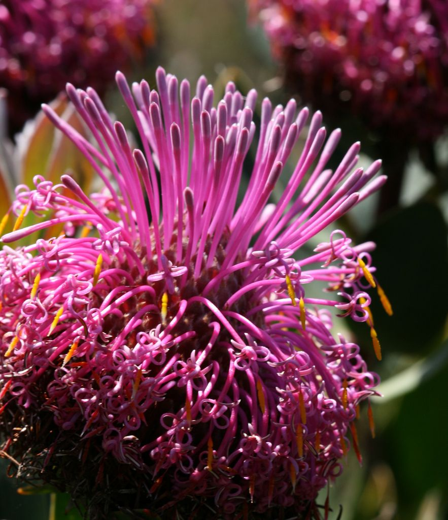 Isopogon latifolius