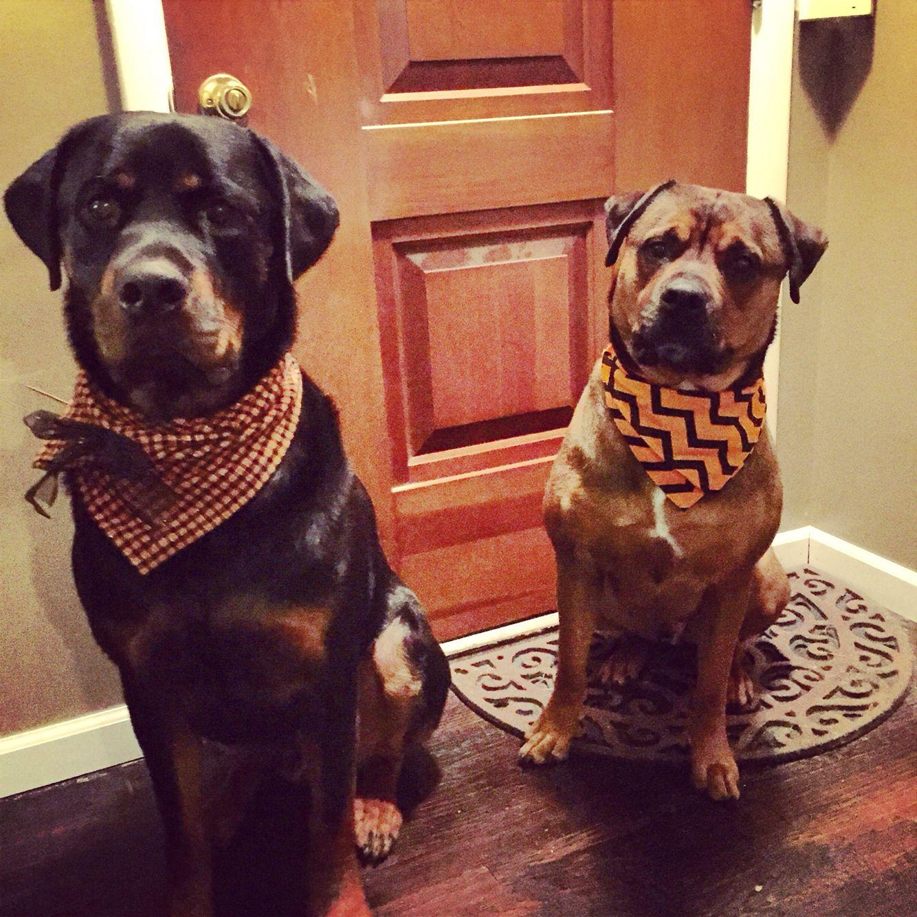 Handsome Rottie And Bullweiler American Bulldog Rottie Doggy