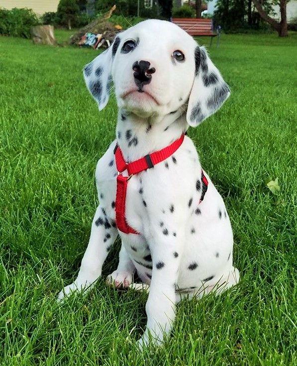 Download Dalmation Chubby Adorable Dog - 770d3e95e4f67237a5d03a46ead3858c  Pic_9415  .jpg