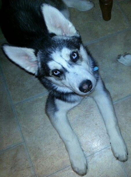 Aj Pg My 4 Month Old Siberian Husky Puppy Inquisitively Looking