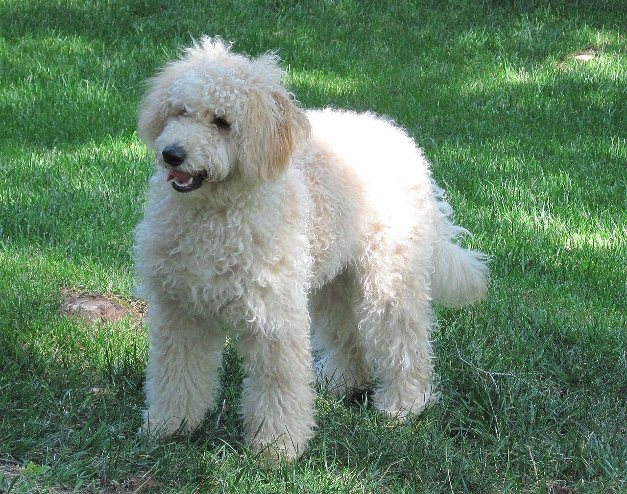 White Goldendoodle Haushund Hunderassen Hunde Rassen