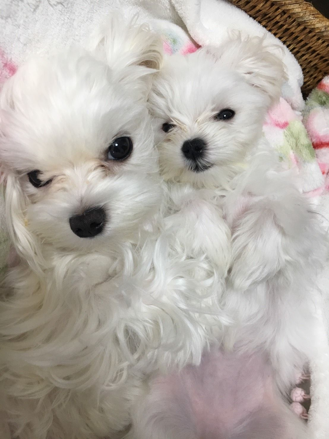 Seeet Teacup Puppies Maltese Cute Animal Photos Maltese Dogs