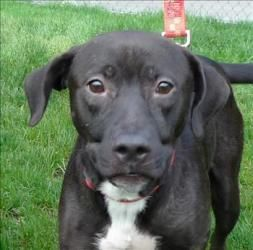 Lacy Rose is an adoptable Pit Bull Terrier Dog in Silverdale, WA. Feeling lonely, need a companion to sit by your side? I bet I can help you out. Lacy Rose is my name, and I'm looking forward to findi...