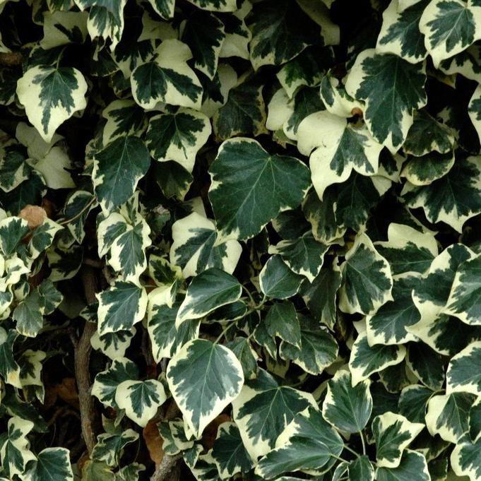 lierre d int rieur lierre des canaries 39 gloire de marengo 39 hedera canariensis jardin pinterest. Black Bedroom Furniture Sets. Home Design Ideas