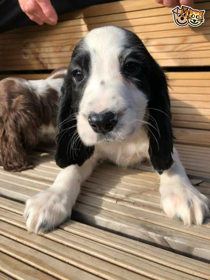 Beautiful Cocker Spaniel Puppies Ready Now Spaniel Puppies Cocker Spaniel Puppies Cocker Spaniel Breeds