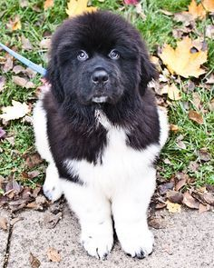 Black White Newfoundland Dog Family Dogs Breeds