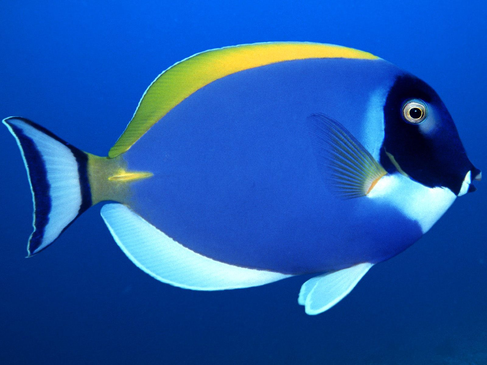 Poissons Tropicaux Powder Blue Surgeon Beautiful Fish Tropical Fish Sea Fish