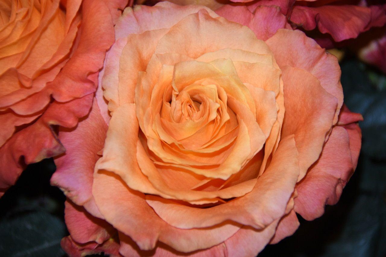 Free Spirit's spiraling, wavyedged petals come in