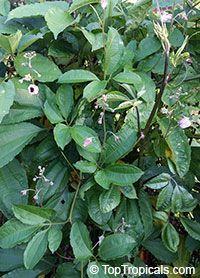 Telfairia occidentalis, Fluted Pumpkin, Oysternut, Ugu Click to see