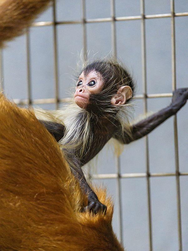 Cute Spider Monkey Baby Spider Monkeys Monkey Baby And