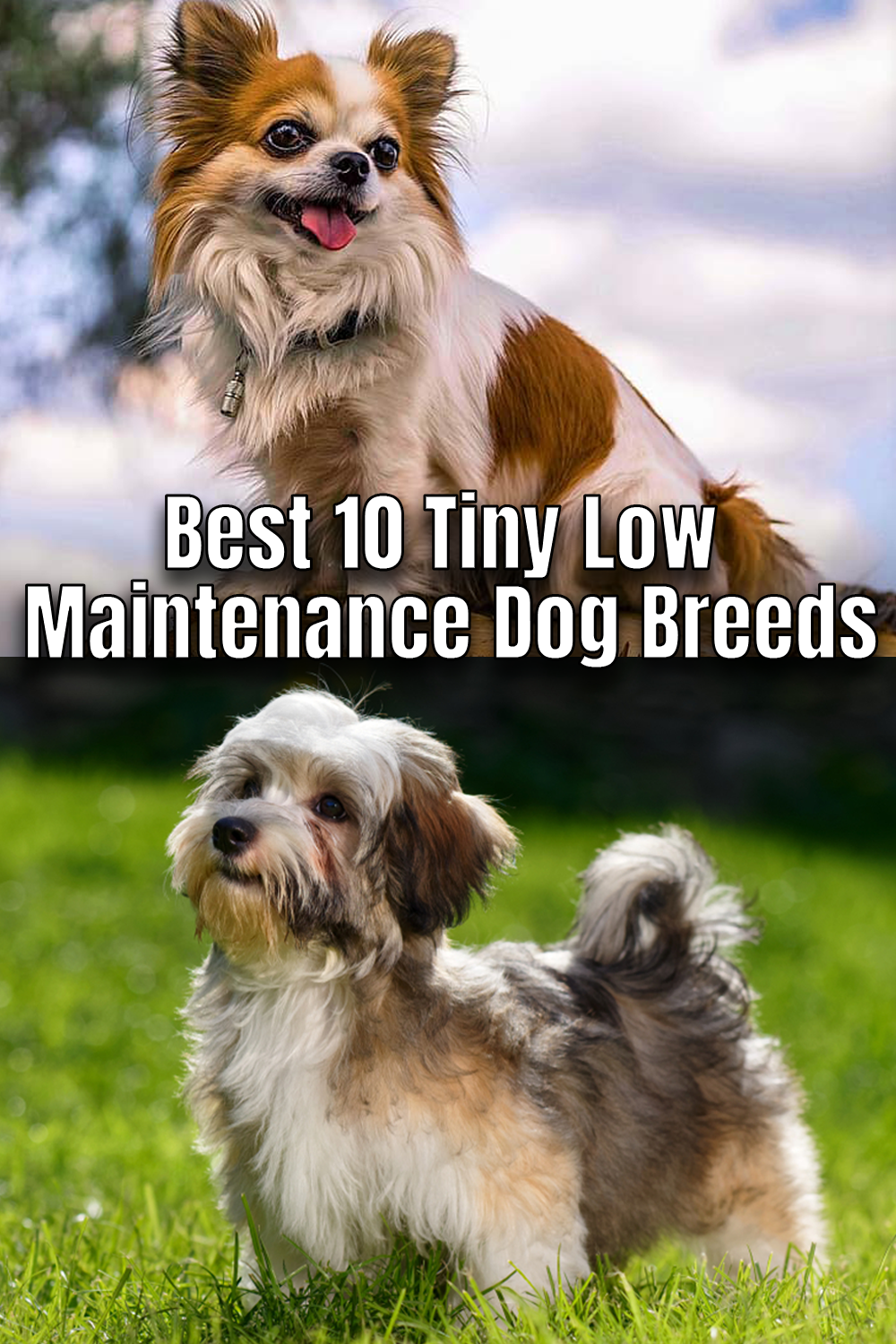 Best 10 Tiny Low Maintenance Dog Breeds In 2020 Low Maintenance Dog Breeds Dogs Dog Breeds