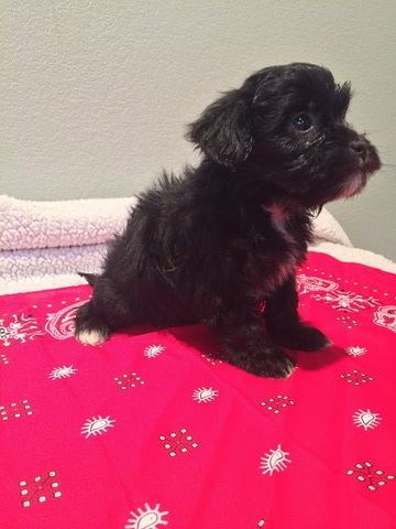 Shih Poo Puppy For Sale In Lead Hill Ar Adn 51399 On Puppyfinder