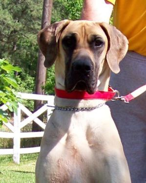Dogs Puppies For Sale In Houston Ebay Classifieds Kijiji Page 1 Large Dog Breeds Great Dane Puppy Puppies