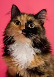 Calico Cat I Would Call This One Penny Nichols Pretty Cats