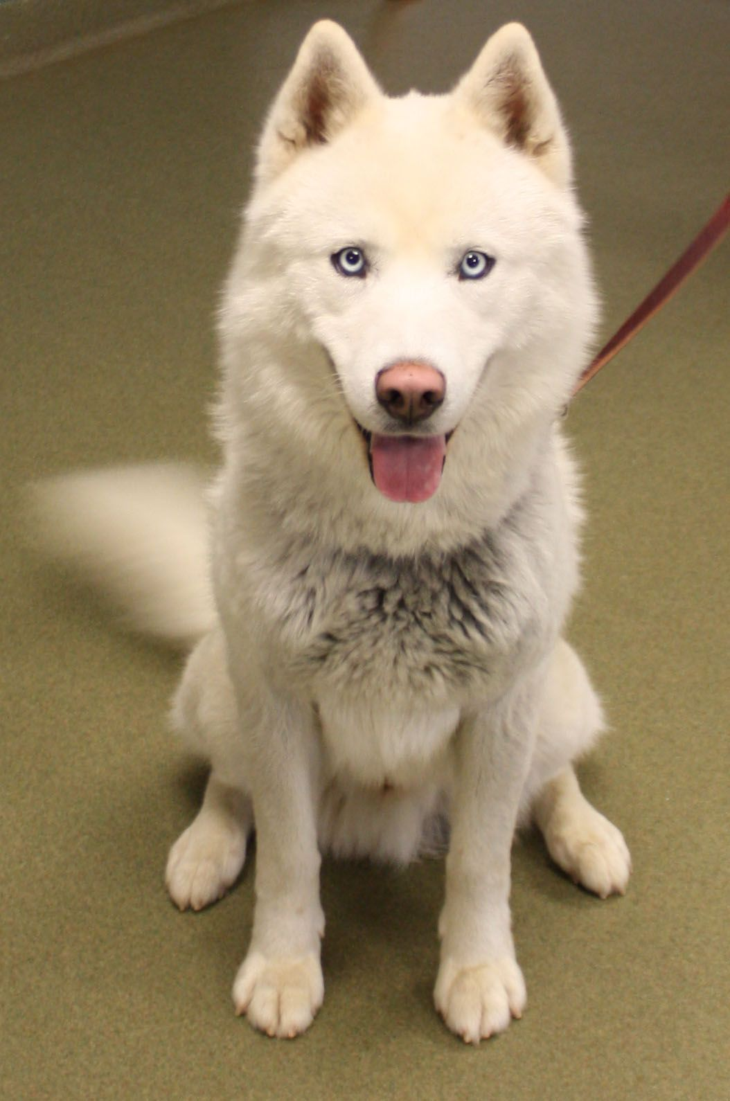 Gorgeous Nova A Solid White Husky With Blue Eyes Got Tons Of