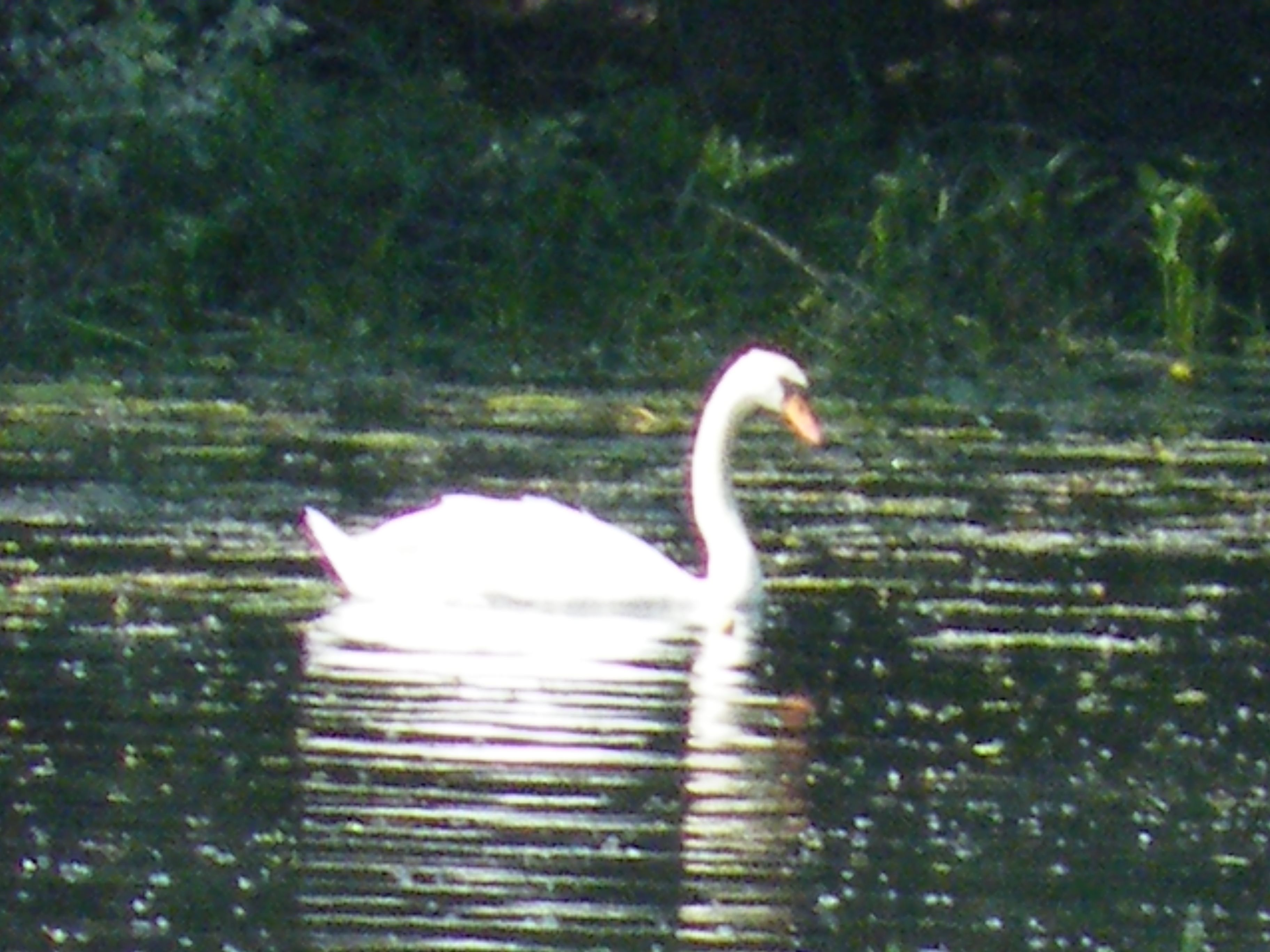 Lonely swan on the Thornapple river near Hastings, Mi  Taken