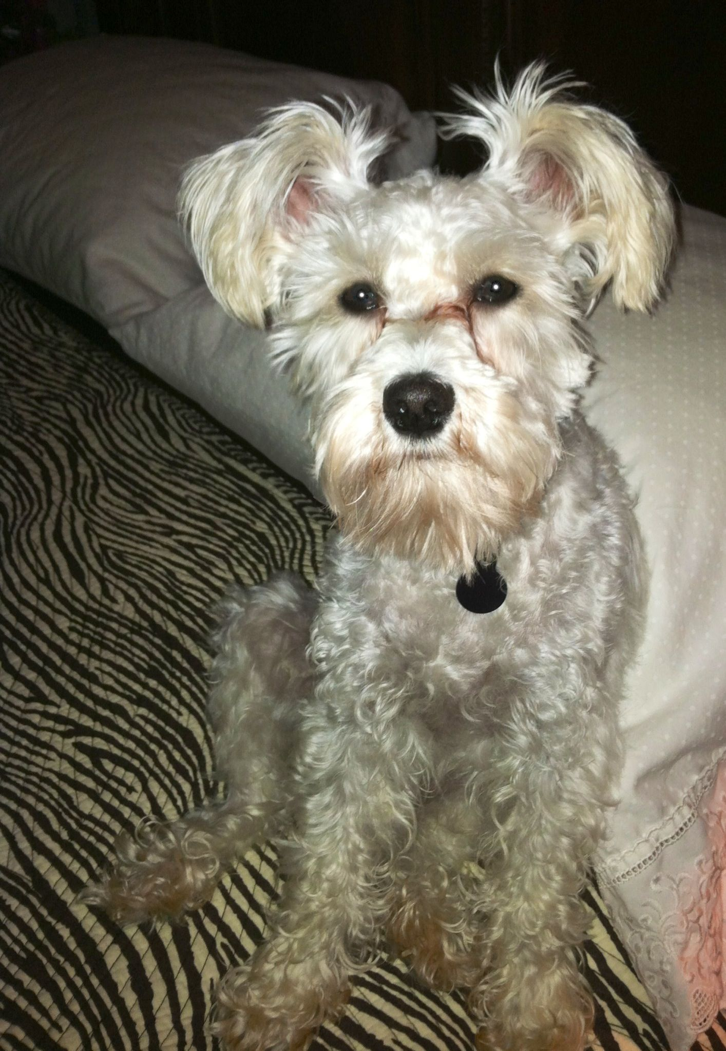 Good Night Moon From One Sweet Schnoodle Schnoodle Dog Love
