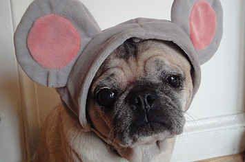 12 Pugs Who Got Cut From The Nutcracker