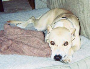 Adopt Lady On Labrador Retriever Dog Retriever Dog Labrador Retriever