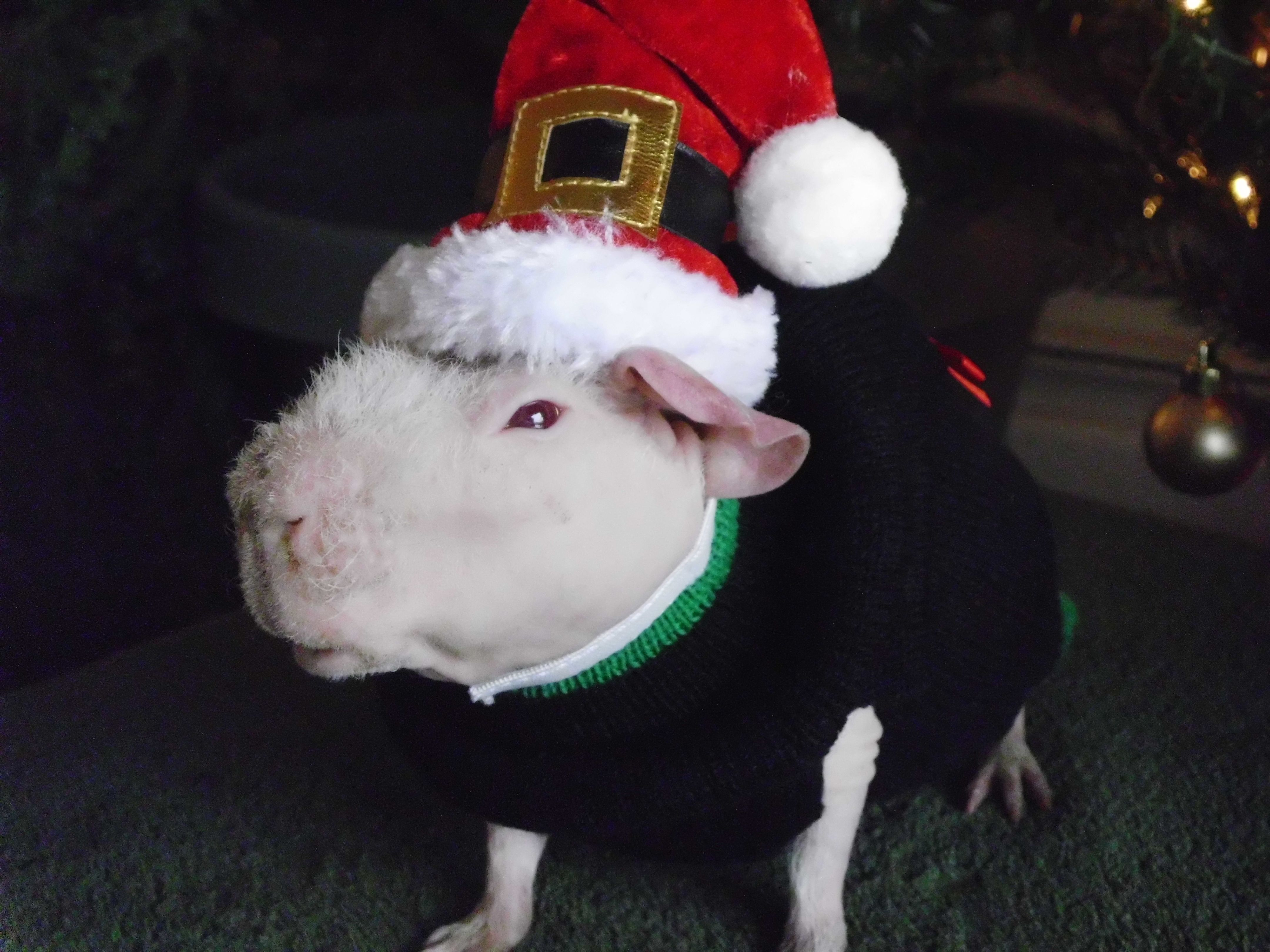 Merry Christmas from Pinky. Emergency vet, Animal