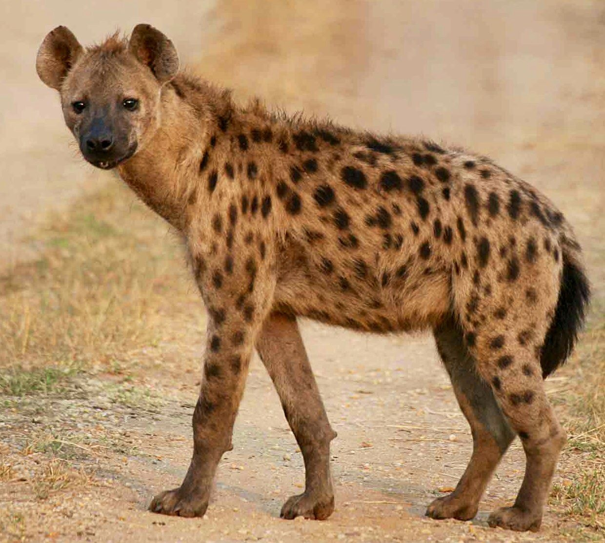 The spotted hyena has a strong and well developed neck and
