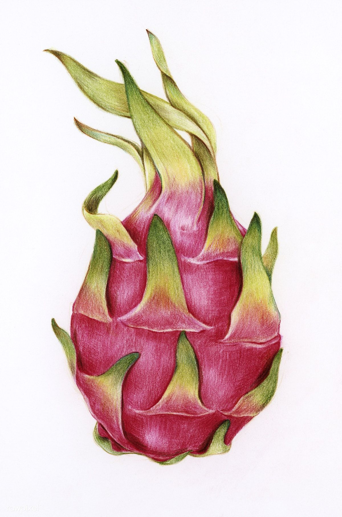 Photo of Download free illustration of Hand drawn dragon fruit illustration 262394