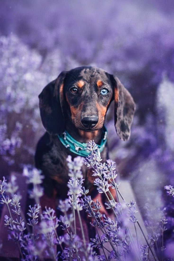 Everything You Need To Know About A Dachshund Dachshund Dogs Cutepuppies Hound Dog Breeds Dapple Dachshund Cute Baby Animals