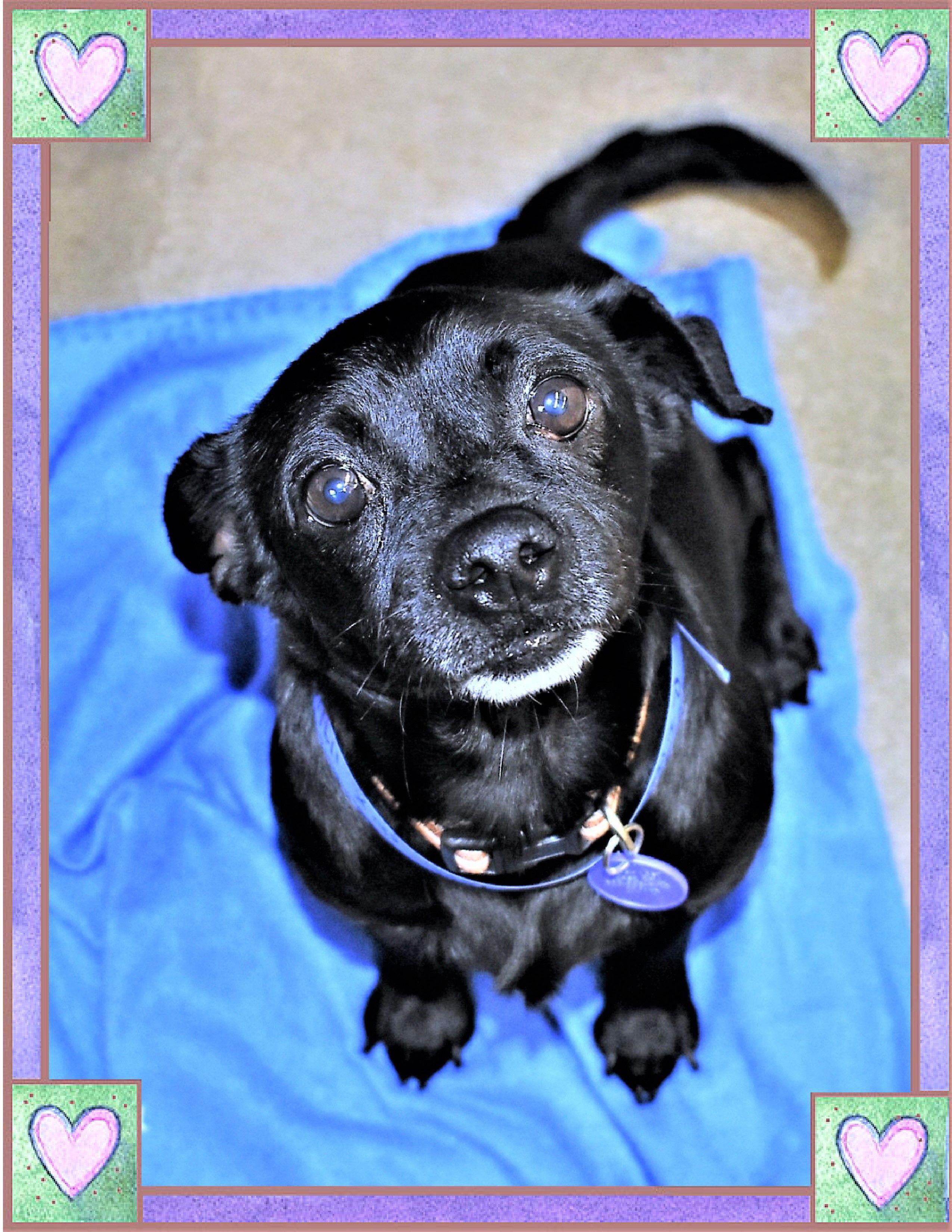 Chiweenie dog for Adoption in San Jacinto, CA. ADN764463