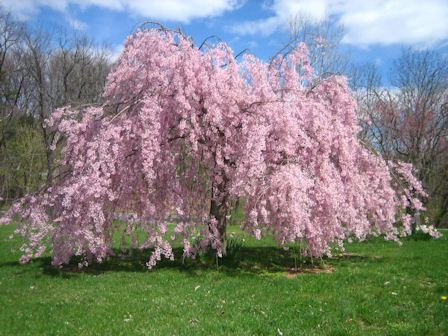 Weeping Cherry Tree Seeds Pink And White Blooms Easy To Grow 4 99 Via Etsy Weeping Cherry Tree Trees To Plant Tree Seeds