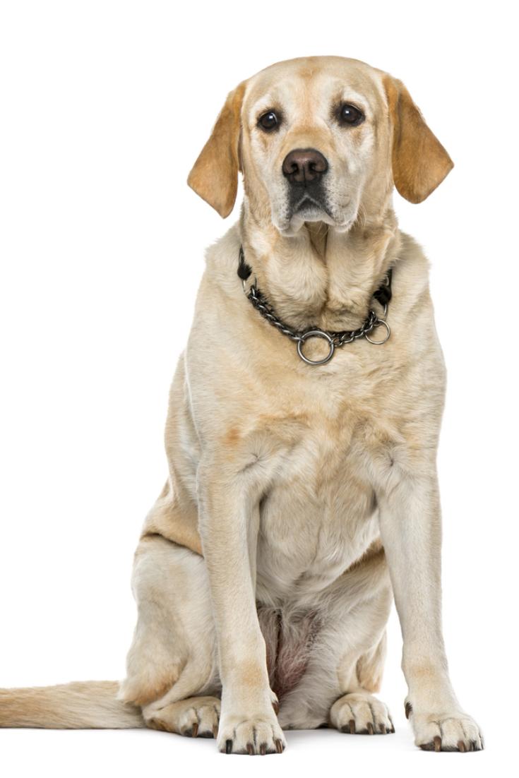 Labrador Retriever Sitting Isolated On White 7 Years Old Labradorretriever Labrador Retriever Golden Retriever Labrador Labrador