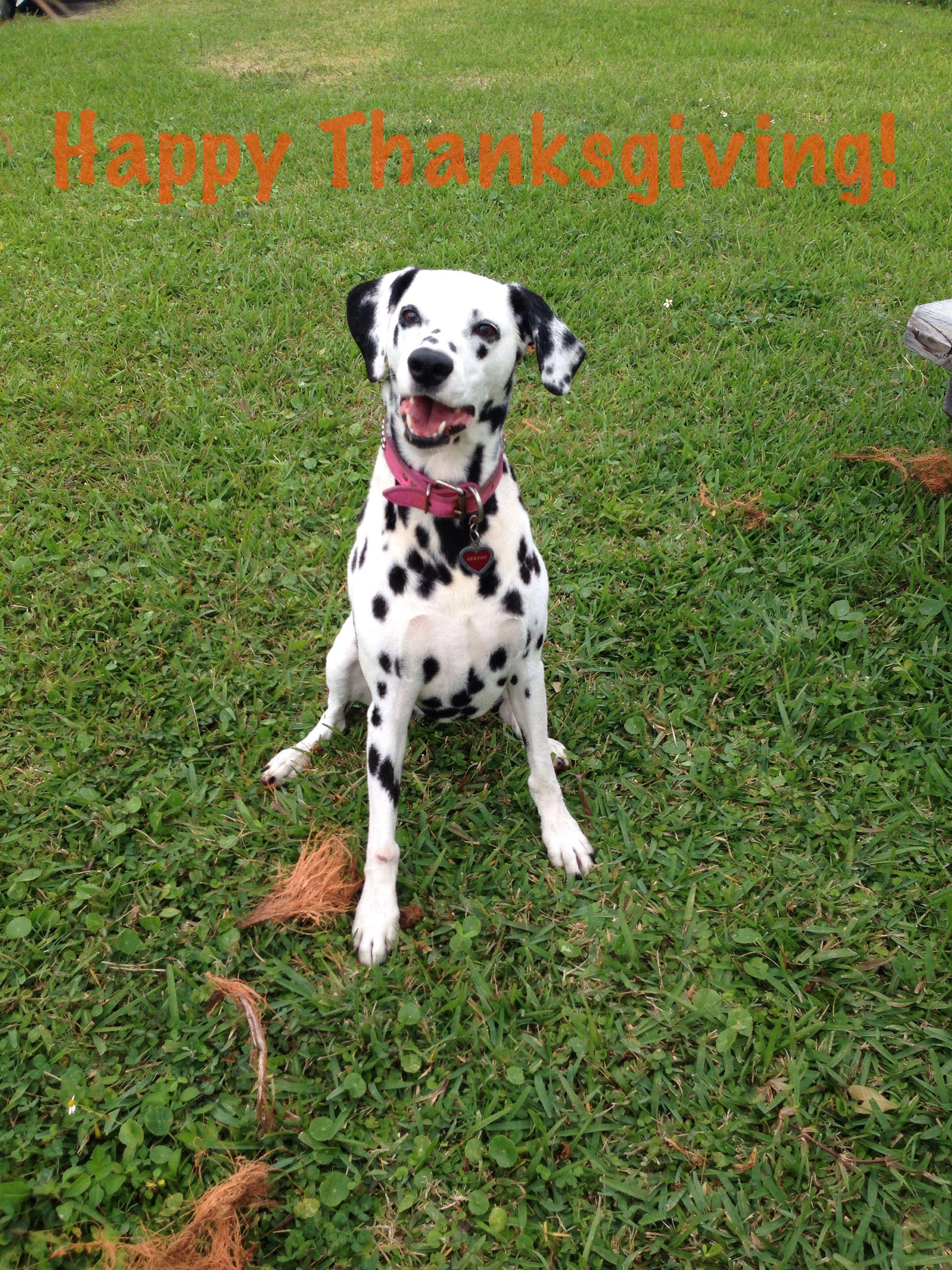 Happy Thanksgiving Dalmatian Keekoh Caza | Dalmatian | Pinterest ...