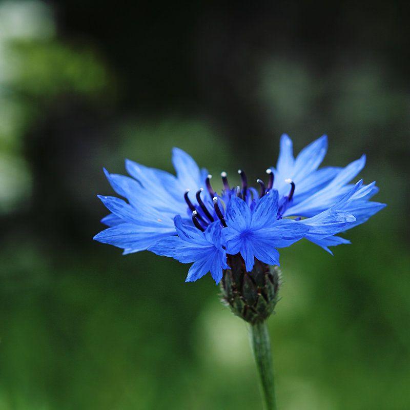Cornflower Blue By Dsfotods On Deviantart Blue Flower Wallpaper Flowers Photography Wallpaper Trendy Flowers