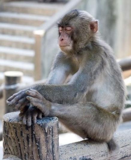 monkey sleeping
