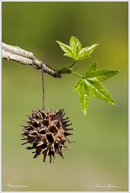 Copalme D Amerique Liquidambar Styraciflua American Sweetgum Seed Pods Trees To Plant Plant Structure