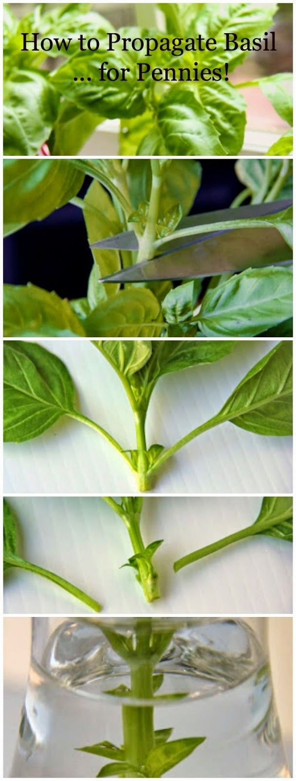 How to propagate basil from one singe plant!