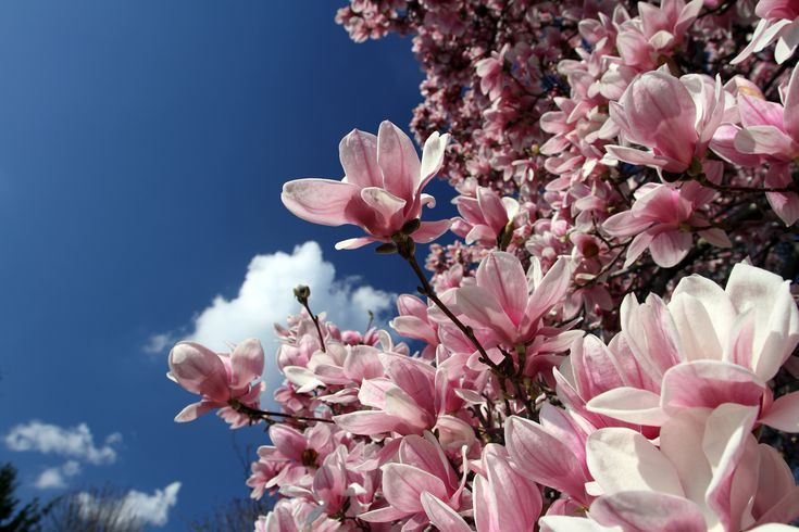 Try Some Magnolia Trees And Shrubs For Gorgeous White Flowers