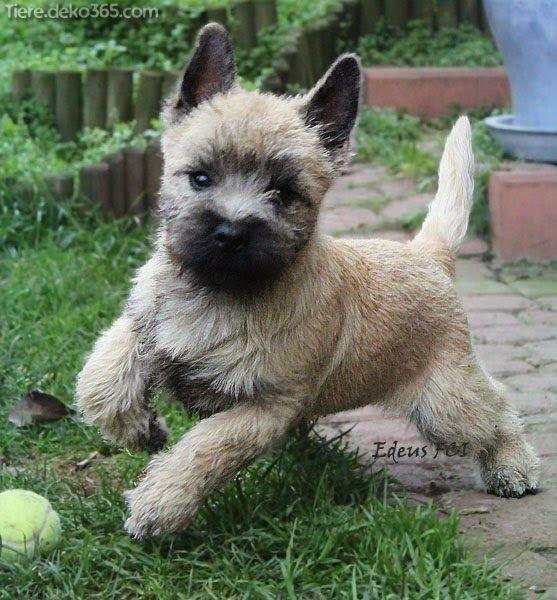 Cairn Terrier Welpen In 2020 Cairn Terrier Welpen Cairn Terrier Welpen