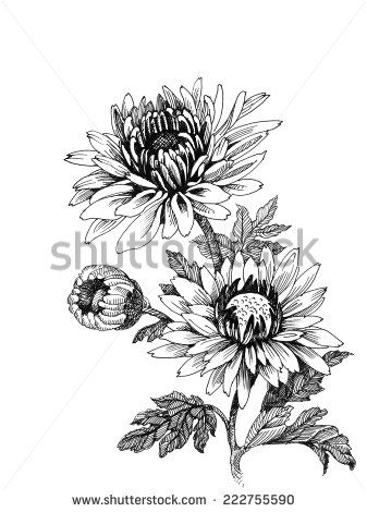 Chrysanthemum Stock Vectors Vector Clip Art Flower Drawing Chrysanthemum Tattoo Line Art Flowers