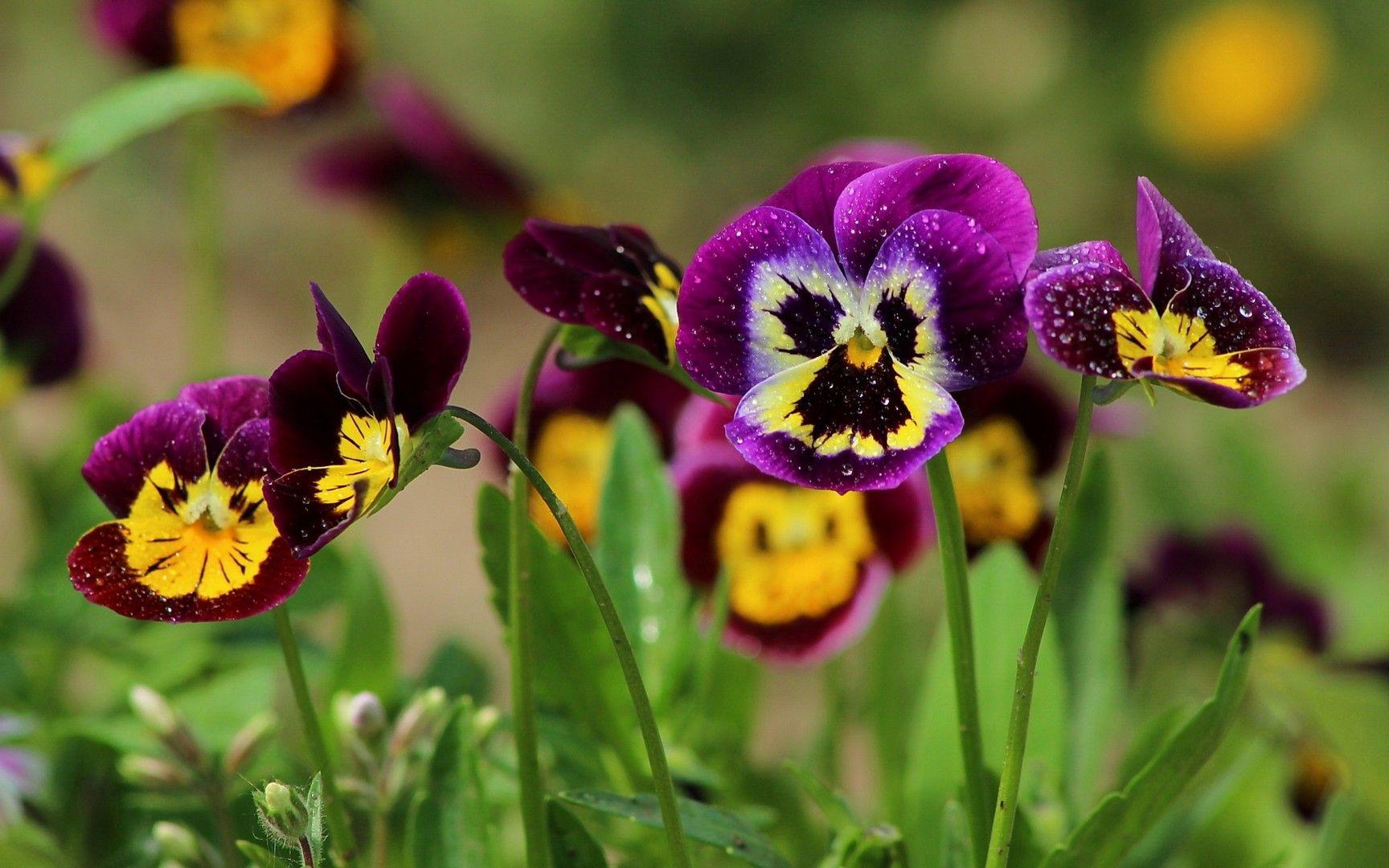 Pansies (с изображениями) | Анютины глазки, Цветы, Фиалки