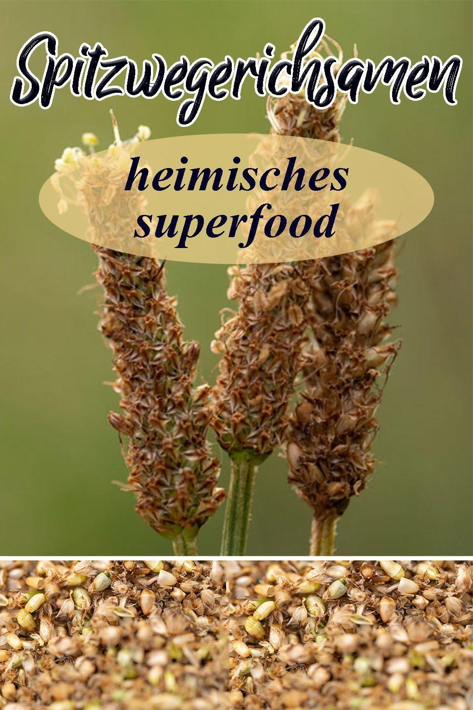 Samen von Spitzwegerich und Breitwegerich sammeln – heimisches Superfood