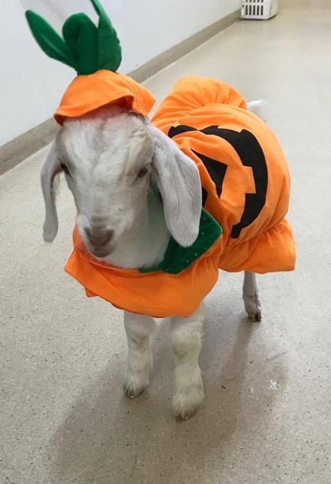 Pumpkin Costume For Goat Pet Halloween Costumes