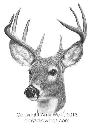 drawing pencil charcoal deer white tailed buck portrait